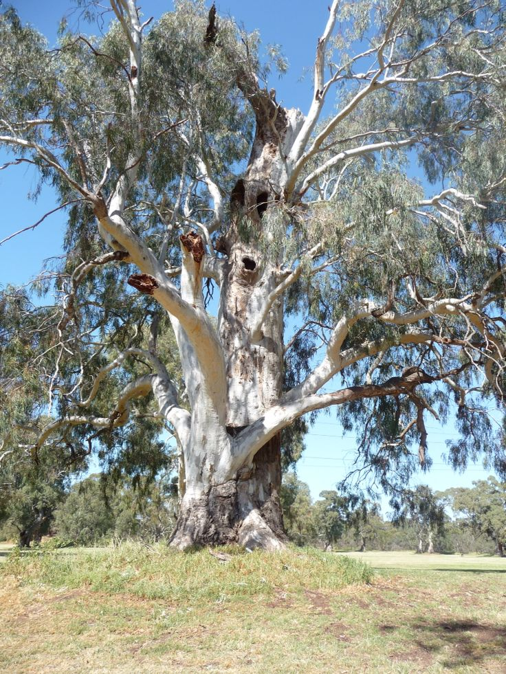 Huge Red Gum, in local Parklands. Near Adelaide.