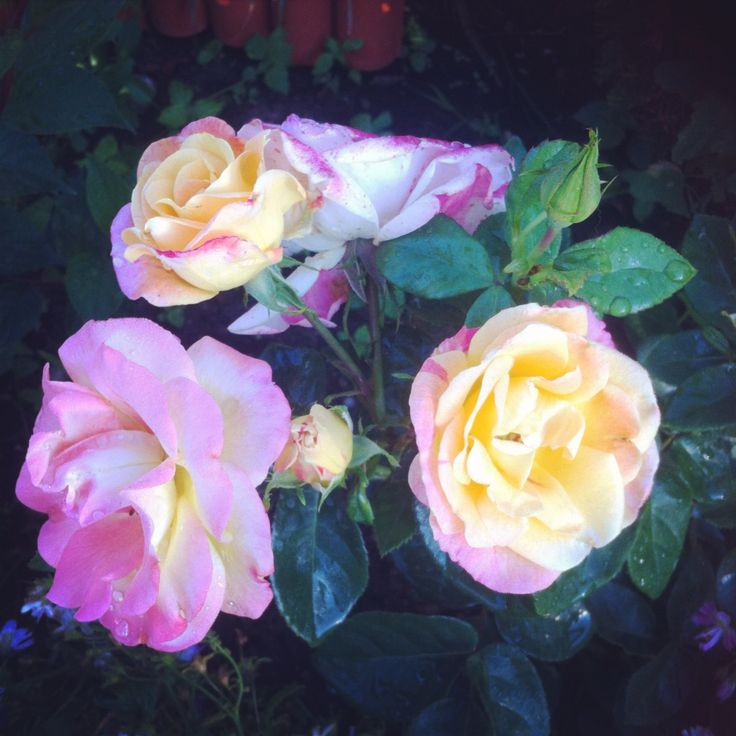 Rose yello & pink