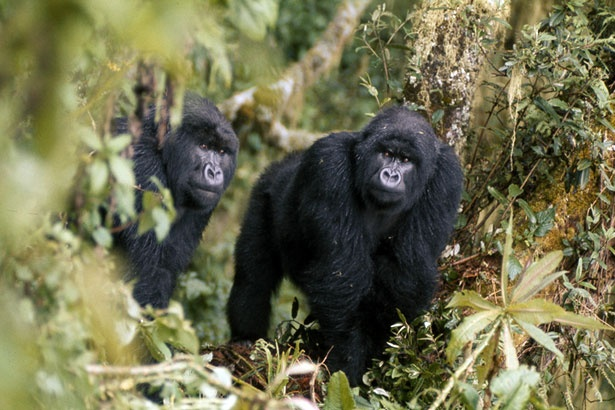 an introduction to the life of mountain gorillas The mountain gorilla, a large, strong ape inhabiting africa's volcanic slopes, has few natural predators yet due to detrimental human activity, such as poaching, civil war, and habitat destruction, the mountain gorilla, a subspecies of.