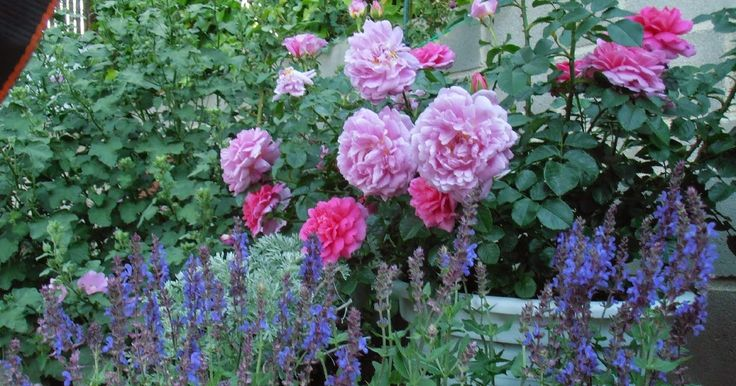 M s de 25 ideas incre bles sobre rosales en pinterest for Jardineria rosales