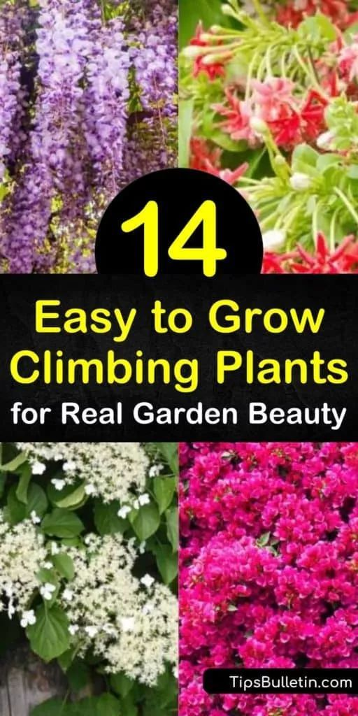 14 Easy To Grow Climbing Plants For Real Garden Beauty In 2020 Climbing Flowers Climbing Plants Fast Growing Climbing Flowering Vines