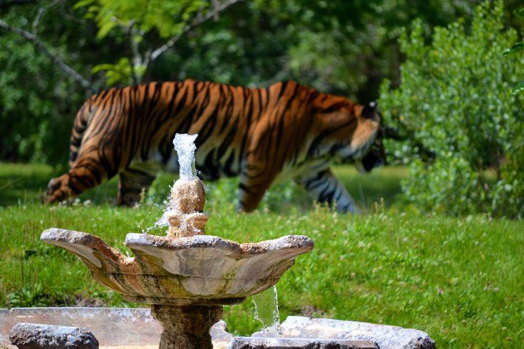 Fountain by animal kingdom disney