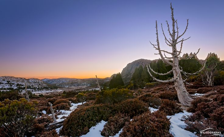 A lone Pencil Pine 'stag' stands watch as the sun rises over Mt Jerusalem in the Walls of Jerusalem National Park. #sunrise #nationalpark #tasmania #wallsofjerusalem #discovertasmania Image Credit: WILKOGRAPHY