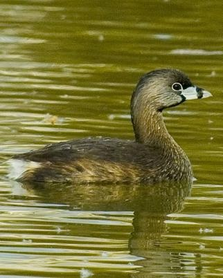 Pied-Billed Grebe (Podilymbus podiceps), 1/2/2012, HWY 15 South of Houston, MS  (not actual photo)
