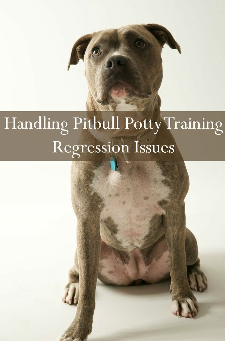 Pitbull Puppy Training Tips Dealing With Aggression Puppy