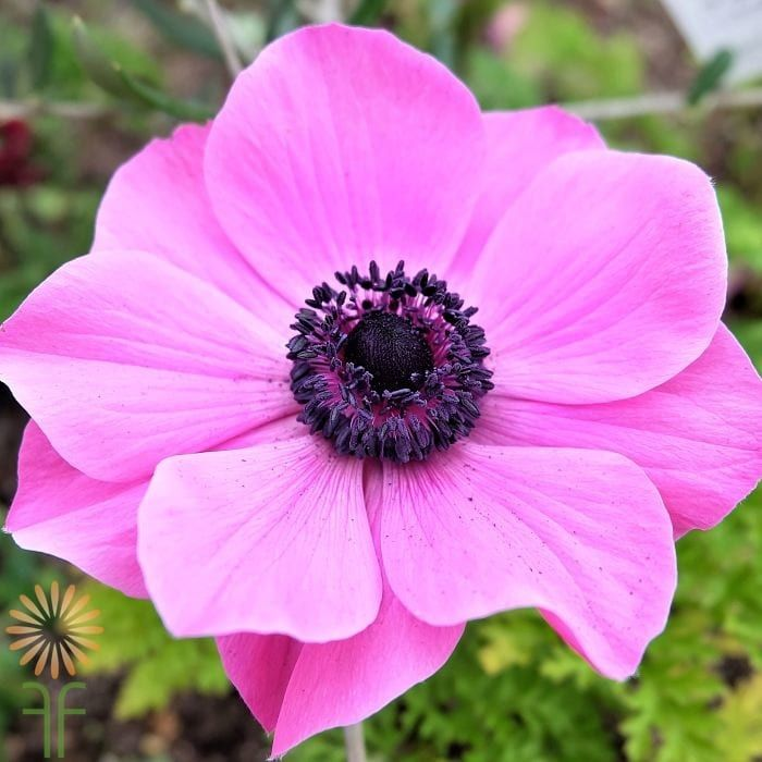 Pink Anemones Wholesale Flowers Diy Wedding Flowers Pink Flowers Photography Pink Flowers Background Wholesale Flowers