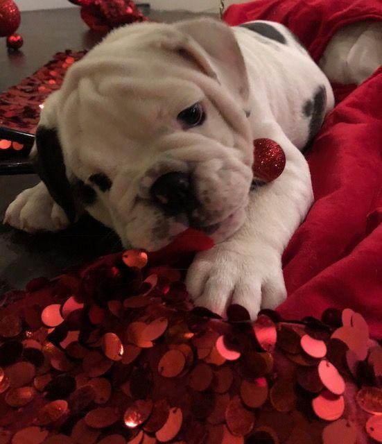 English Bulldog Puppy For Sale In Sacramento Ca Adn 54261 On