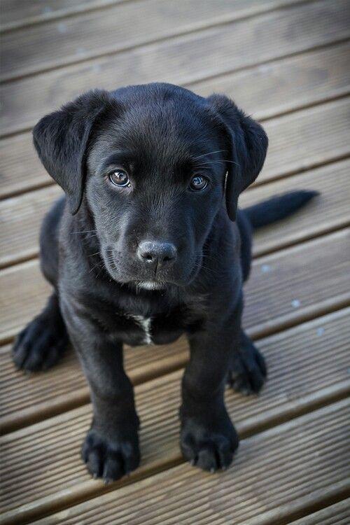 Labrador Retriever Pup ~ Classic Look