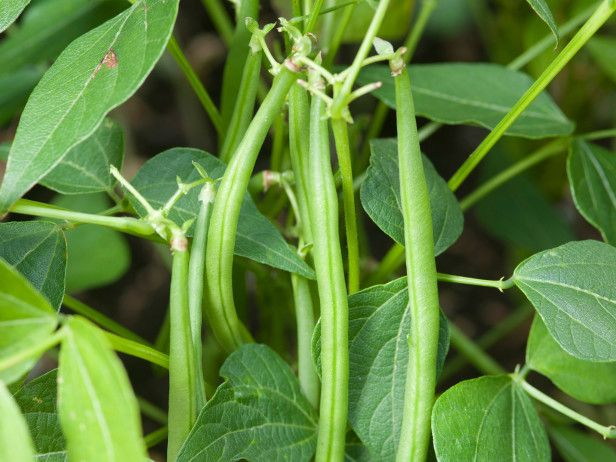 17 best images about growing bush beans on pinterest the for Soil 7 days to die