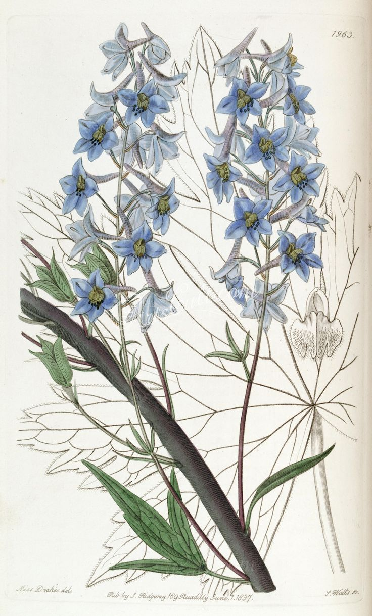 flowers-21732 1963-delphinium intermedium, Variable Larkspur  botanical floral botany natural naturalist nature flowers flower beautiful nice flora plants blooming ArtsCult.com Artscult ArtsCult vintage printable public domain 300 dpi commercial use 1800s 1700s 1900s Victorian Edwardian art clipart royalty free digital download picture collection pack paintings scan high qulity illustration old books pages supplies collage wall decor
