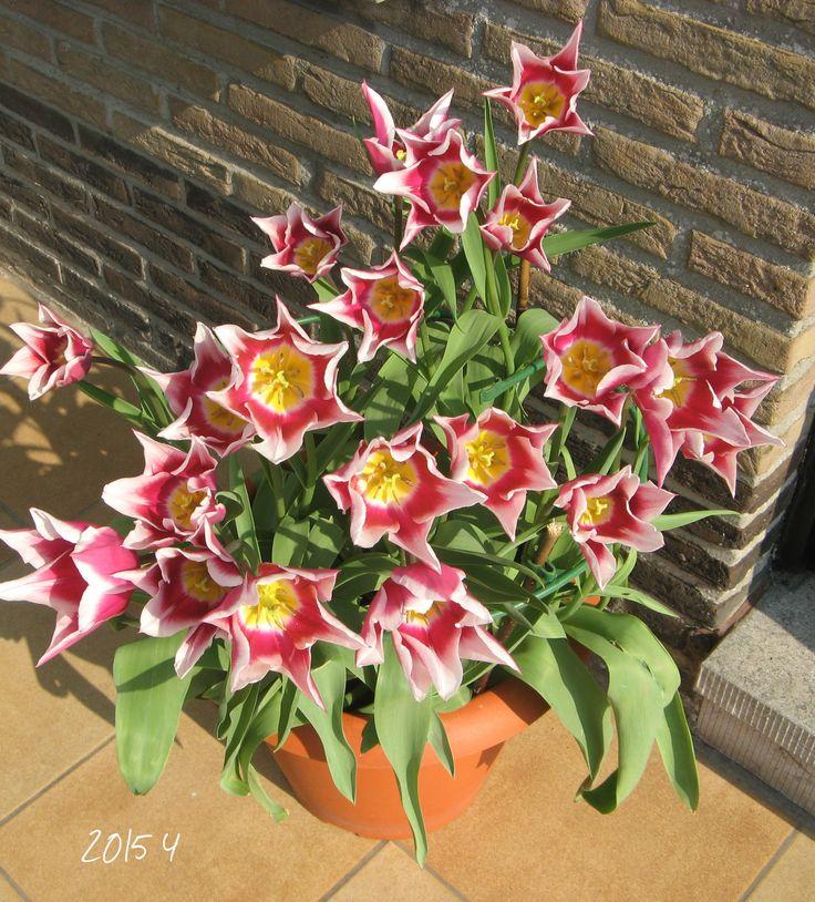 ook tulpen gedijen goed op t terras maar zijn wel vlug