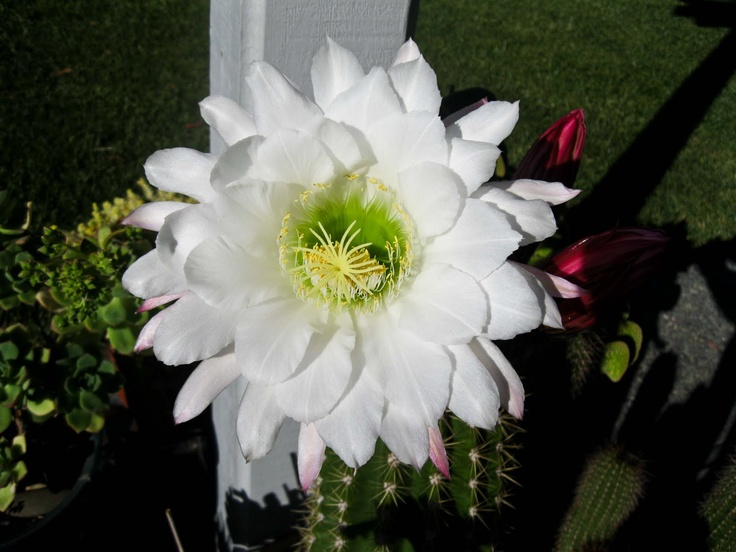 The gallery for --> White Cactus Flower