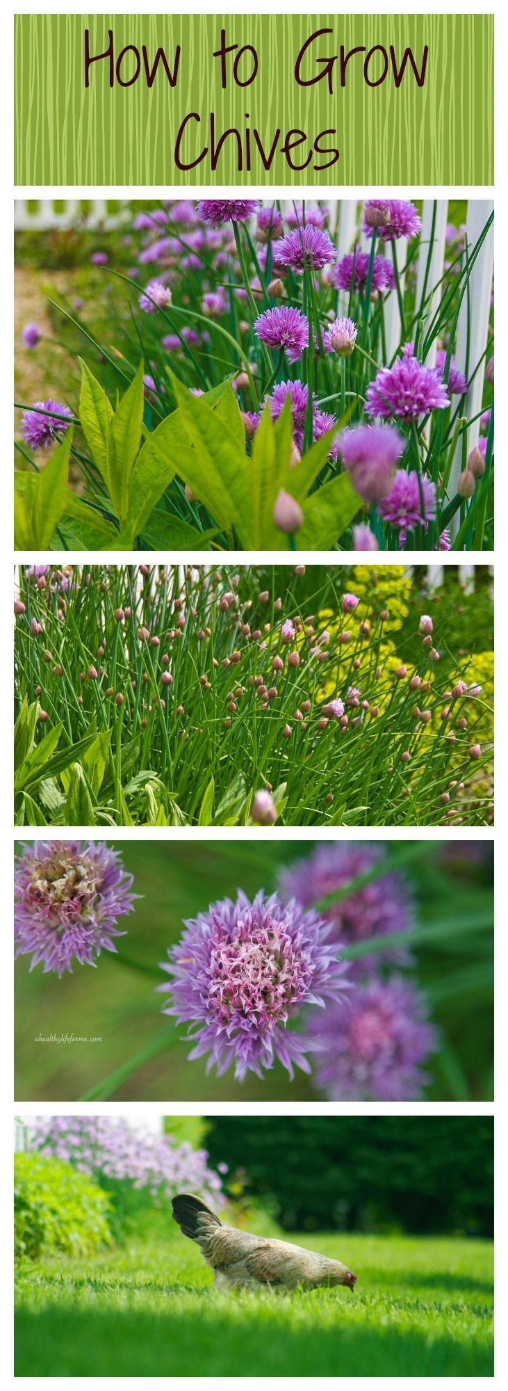 How to Grow and Care for Chives.  These beautiful and easy spring bloomers add a bright beautiful color to the garden and offer healthy benefits to our meals.  Learn more http://ahealthylifeforme.com/2012/04/21/how-to-grow-chives/ #HowToGrowChives #HowTo #Herbs #Gardening #VegetableGardening