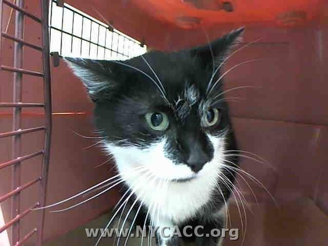 SUPER #URGENT +++ TO BE DESTROYED Dec/21/14 #KillShelter #NYC #Brooklyn Center - Purrleeeez safe #Kylie's life #SHARE #foster #adopt - #wlf  My name is KYLIE. My Animal ID # is A1022607. I am a female black and white domestic sh mix. The shelter thinks I am about 2 YEARS  I came in the shelter as a STRAY on 12/07/2014 from NY 10459, owner surrender reason stated was STRAY. I came in with Group/Litter #K14-204237.  MOST RECENT MEDICAL INFORMATION AND WEIGHT 12/19/2014 Exam Type CAGE EXAM…