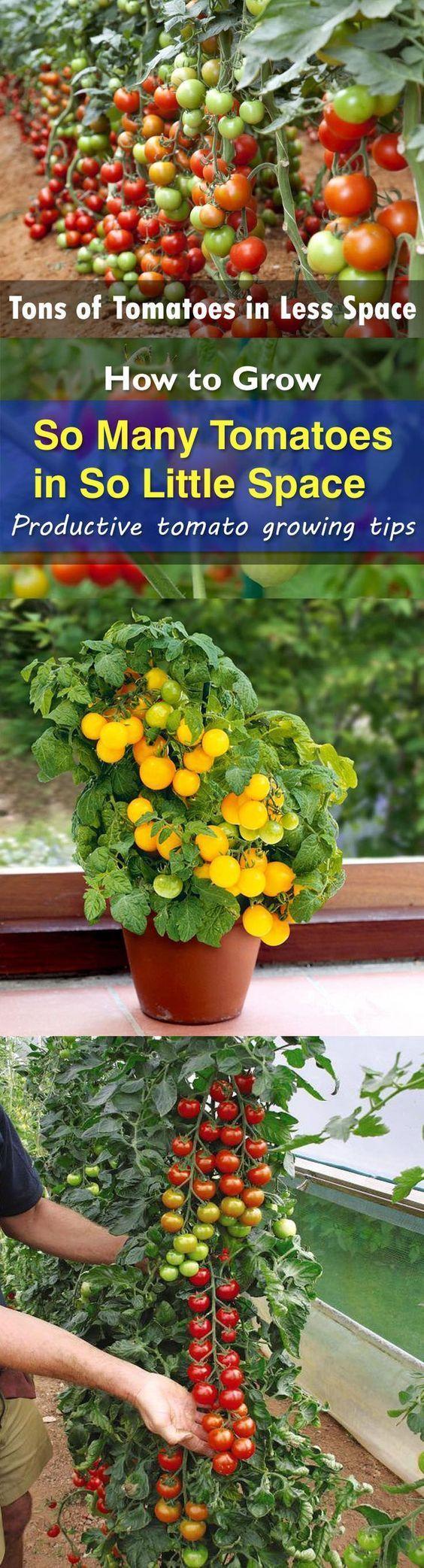 best 25 growing tomatoes indoors ideas on pinterest tomato
