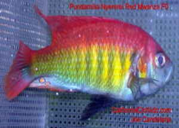 101 best images about african cichlids on pinterest for African freshwater fish
