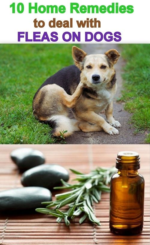 10 home remedies to deal with fleas on dogs