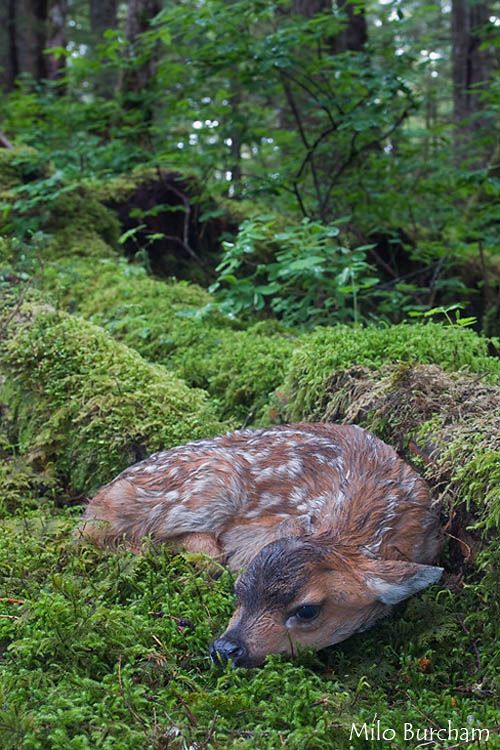Sitka Black-Tailed Deer Fawn on Montague Island by photographer Milo Burcham.
