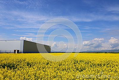 Rape Field - Download From Over 43 Million High Quality Stock Photos, Images, Vectors. Sign up for FREE today. Image: 71042001