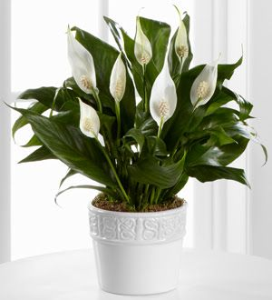 Pollution Control with Peace Lily Plant