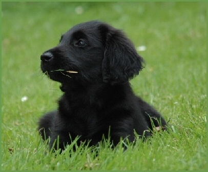 Flatcoated retriever pup