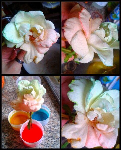 Esperimento floreale. Prendere una rosa bianca ancora chiusa! Infondo al gambo tagliare lo stelo in 3 parti e immeggerle in acqua e inchiostro di diversi colori! Aspettare che fiorisca più colorata che mai! ♡
