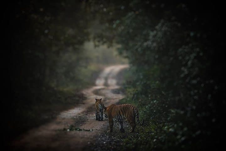 & the man follows....  GrassLand female leads & Mota Saal male follows... at Jim Corbett Tiger reserve !!!  #tiger #tigerreserve #Wildlife #wildlifephotography #wildlifephotographer #tiger #corbett #jimcorbett