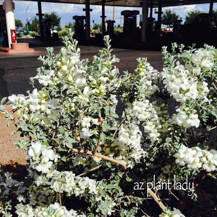 White cloud texas sage leucophyllum frutescens 39 white for Southwest landscaping plants