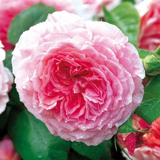 die besten 17 ideen zu englische rosen auf pinterest. Black Bedroom Furniture Sets. Home Design Ideas