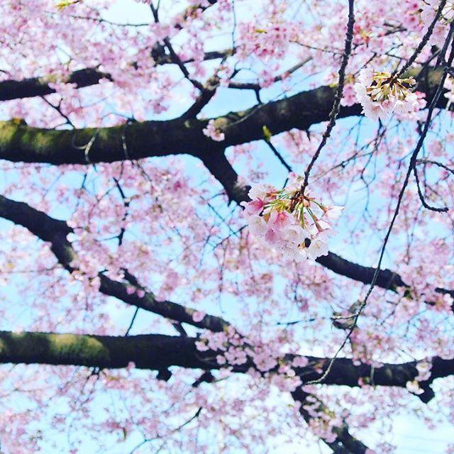 【myflwr_】さんのInstagramをピンしています。 《眠れない夜って、春が来ない冬みたい って昨夜考えていたら、いつの間にか眠れていました。 冬の儚さも素敵だけど 春の柔らかさも恋しいなあ。 今日はちょっとピンクがかった写真を一枚、今日も寒い。  #一日の始まり  #ファインダー越しの私の世界 #カメラ好きな人と繋がりたい#カメラ女子#東京カメラ部 #桜 #phos_japan #photography #nikon》