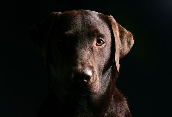 This photo reminds me of my first lab, Bowie, who started my love for labrador retrievers. I will miss him - always.. labrador #dog