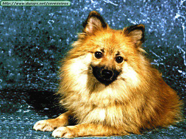 Good Cuby Chubby Adorable Dog - 3bb277698a60c9cc3e780844fa9fd022--brandy-jpg  Collection_131513  .jpg