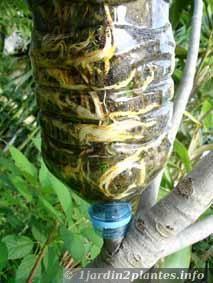 marcottage d'un arbre fruitier: le figuier