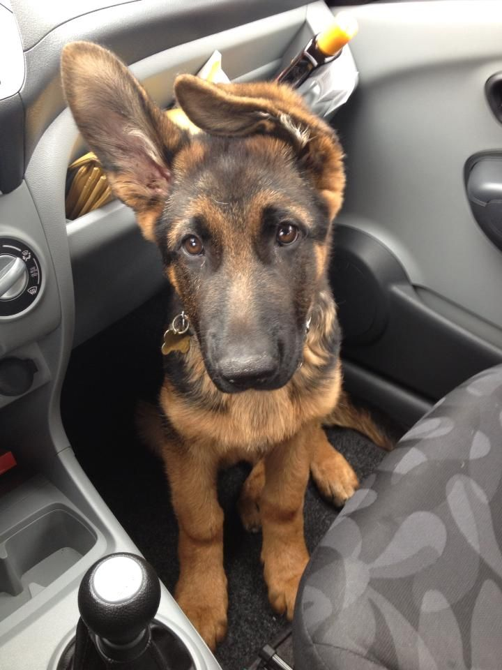 german shepherd with floppy ears 25 b 228 sta german shepherd ears id 233 erna p 229 pinterest 9804