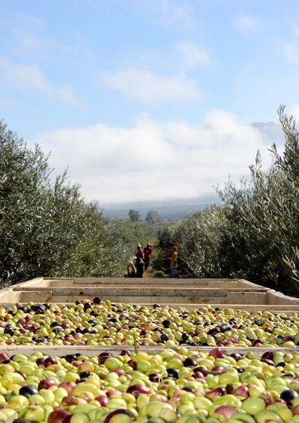 In the groves - Willow Creek Olive Estate