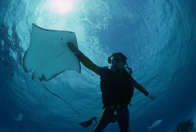 A Scuba Diver's Guide to Identifying Rays: Rays