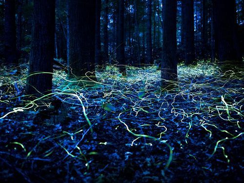 "North Carolina's ""Blue Ghost Fireflies"""