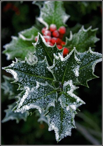 "From the light of my home to the light of all of yours, ""Blessed be this Solstice"" ""Blessed Be"" Frosted Holly"