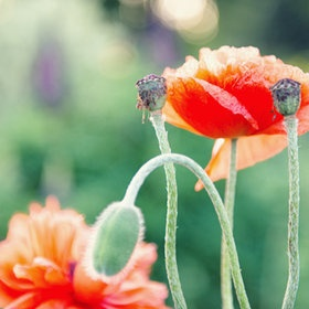 Poppies...: Goodhue Photography, Linda Goodhue, Photo Ideas, Environmental Geek