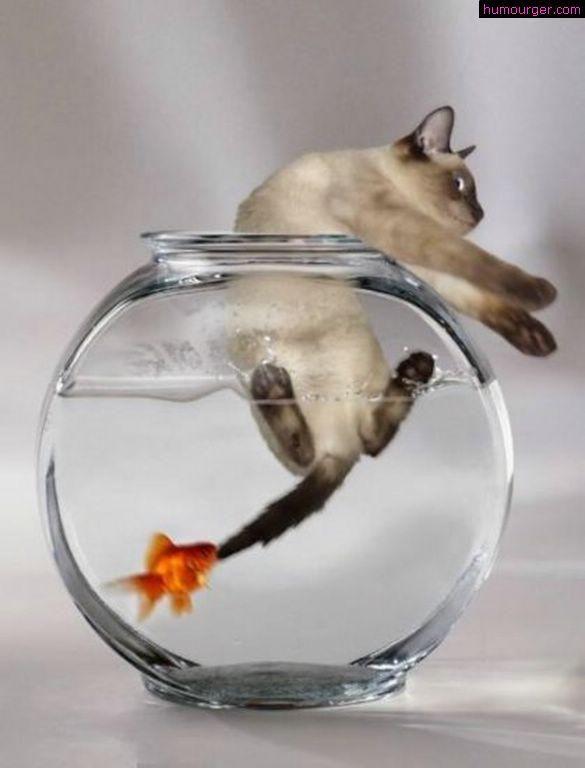 Poisson rouge qui attaque un chat  siamois