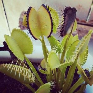 Got a venus fly trap turning black? No problem!  Learn why it its and how to deal with it!!!