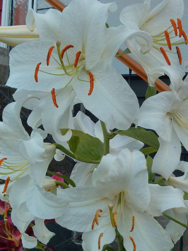 Lilies...Backyard Diva.
