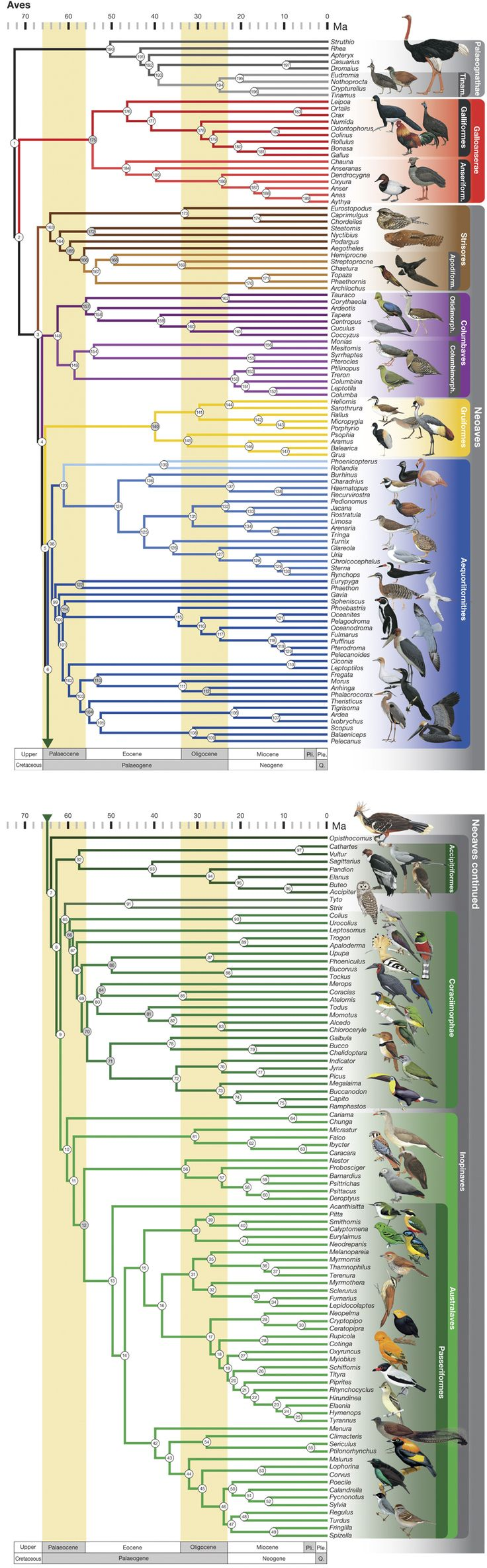 Phylogeny of birds. : A comprehensive phylogeny of birds (Aves) using targeted next-generation DNA sequencing : Nature : Nature Publishing Group