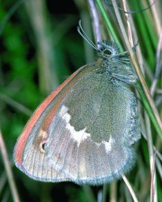Maritime Ringlet   Coenonympha nipisiquit, McDunnough, 1939. The Maritime Ringlet is restricted to salt marshes in Chaleur Bay between Quebec and New Brunswick. There are three colonies near Bathurst, New Brunswick, two near Miguasha, Quebec, and one near St-Siméon-de-Bonaventure, Quebec.