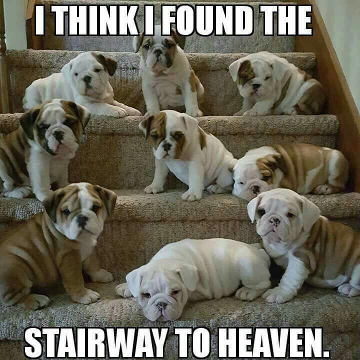 Bulldogs English Bulldog Puppies Bulldog Puppies Bulldog Dog