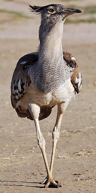 Kori Bustard Bird - South Africa. BelAfrique your personal travel planner - www.BelAfrique.com