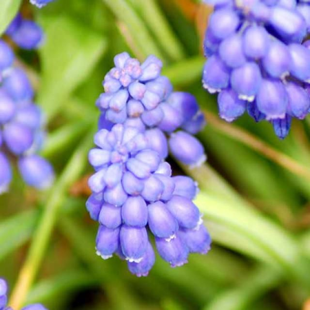 Blue Flowers: Picture of Common Grape Hyacinth Flowers: Common grape hyacinth is aptly named. Its flower spike produces small, fragrant flowers packed closely together, looking a bit like a bunch of grapes (especially before the blooms open, as they are rounded at this time). Despite its name, this is a distinct spring bulb plant from common hyacinth flowers (Hyacinthus orientalis). The latter's blossoms are star-shaped when fully open, and the overall size of the plant is greater.