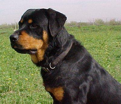 Rottweiler | ... class Roman Rottweiler . Photo courtesy of Colossal Rottweilers