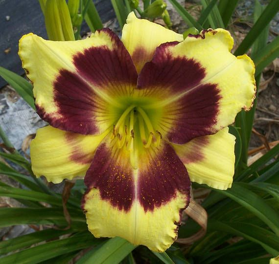 THIS IS ONE OF OUR DAYLILY SEEDLINGS THAT WE HAVE PRODUCED THROUGH OUR BREEDING PROGRAM. THIS DAYLILY IS UNIQUE TO OUR NURSERY, NO ONE ELSE HAS IT. Garden Jewel (S-910) 30 tall, semi-evergreen, late season, 6 bloom, tetraploid. Dark yellow with a plum eye and a green throat. Reblooms. Beautiful color combination, very showy. This listing is for a blooming size, 2 fan division, shipped bareroot. We will combine items to save you on shipping costs. Since we dig these plants up and divide them…