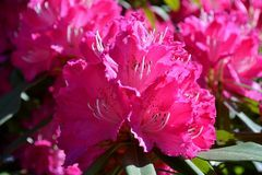 Nadia Mikushova. A Rhododendron flower blossoming in Bellagio in spring. Royalty Free Stock Images